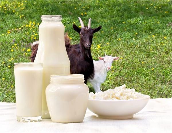 health tips body goat s milk dengue disease benefits