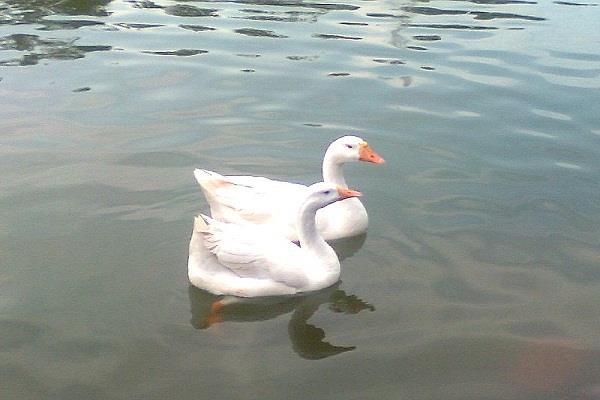 ducks death
