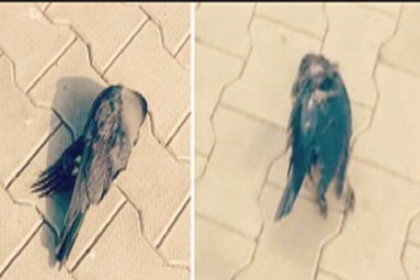 crows death