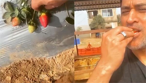 mahendra singh dhoni farm house strawberries video