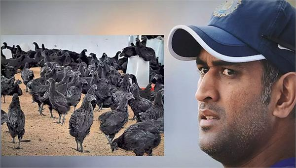 madhya pradesh bird flu  detected  kadaknath chickens ms dhoni farm