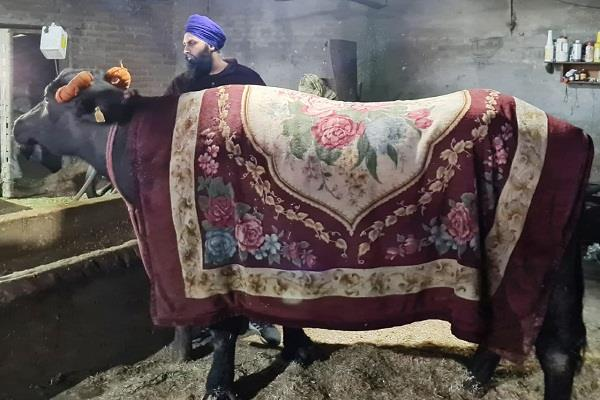 farmer protest langar buffalo