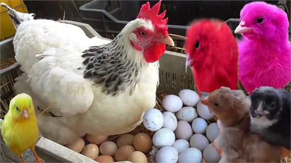 bird flu poultry owners will kill chickens again