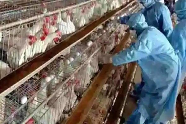 derabsi killing operations alpha poultry farm birds