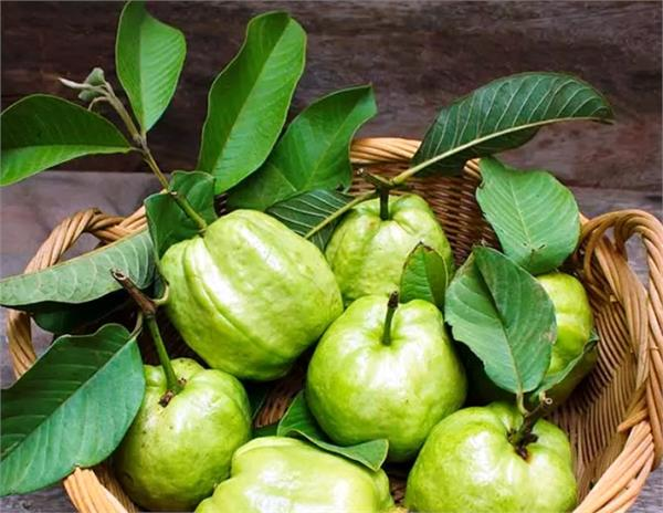 high blood pressure diabetes control guava leaf extract