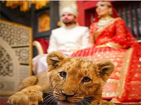 pakistani couple lion wedding shoot legal action