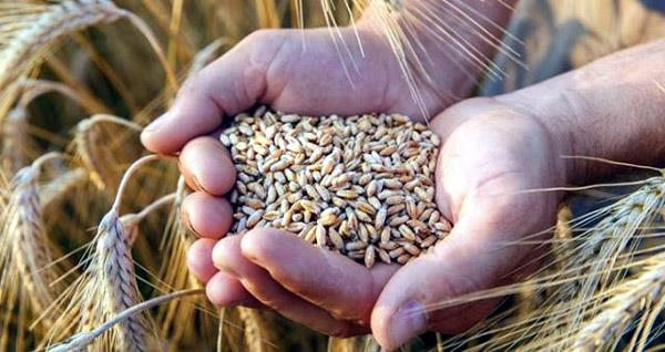 center initiates process for direct payment of wheat to farmers