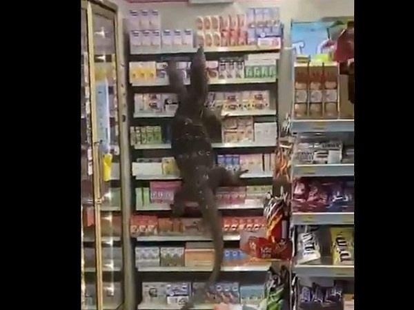 9 feet long lizard  shop