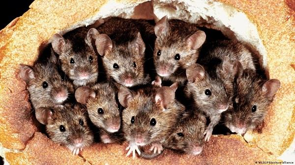 australia  rat terror  attacks