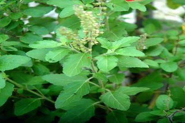 vastu tips if the basil plant withers be aware this may be a sign